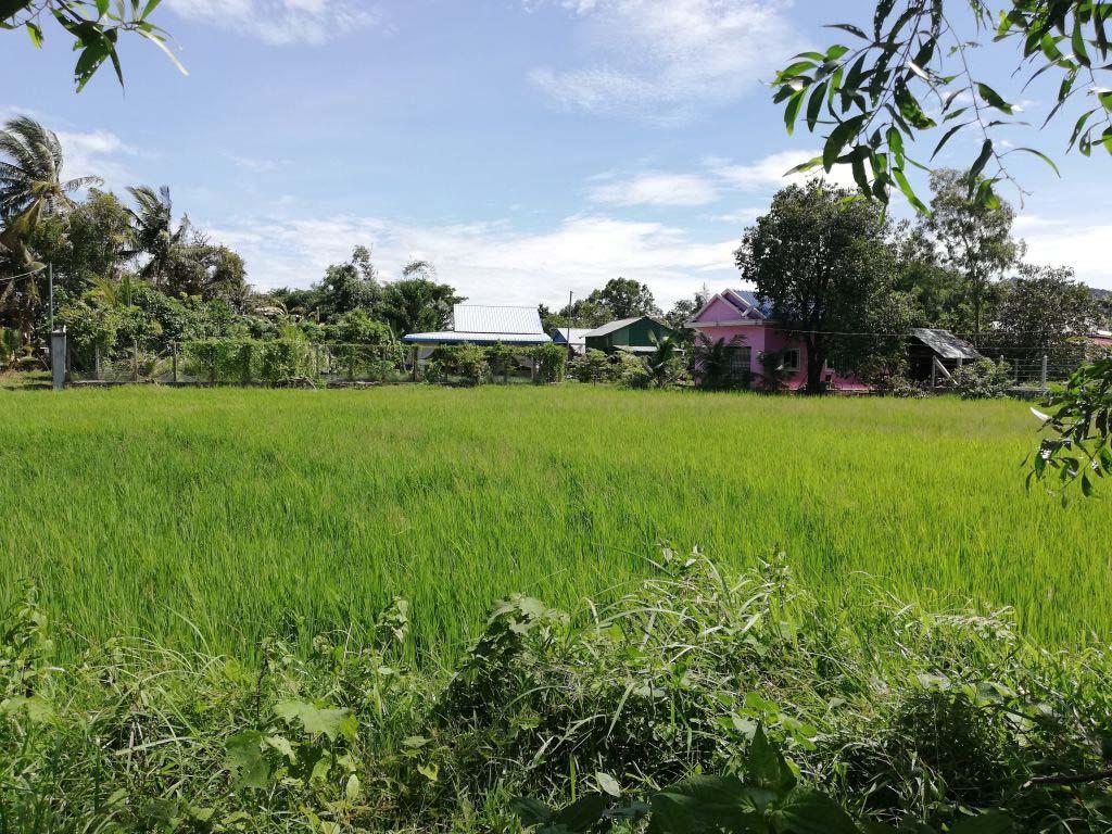 Ein Reisfeld und dahinter ein paar Häuser.