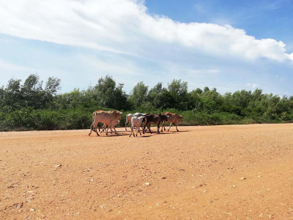 Ein paar Kühe laufen eine sandige Piste entlang.