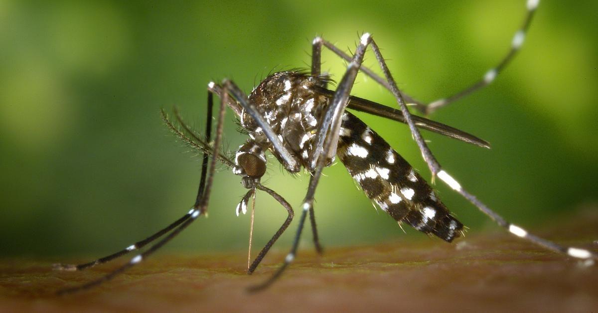 Eine Mücke sticht in die Haut.